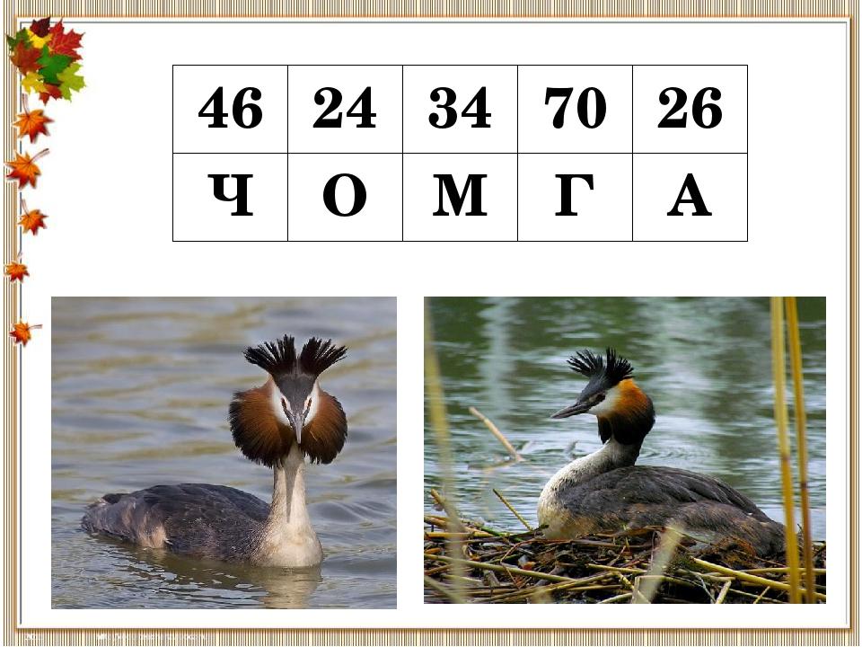 46 24 34 70 26 Ч О М Г А ЧО́МГА, (большая поганка) — вид птицы рода поганок о...