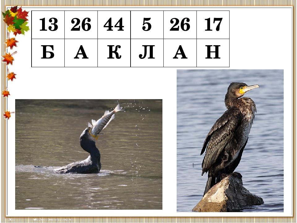 13 26 44 5 26 17 Б А К Л А Н Бакланы— околоводные птицы с длинной шеей и обы...