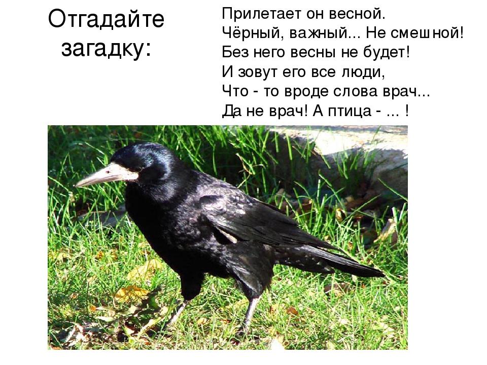 Отгадайте загадку: Прилетает он весной. Чёрный, важный... Не смешной! Без нег...