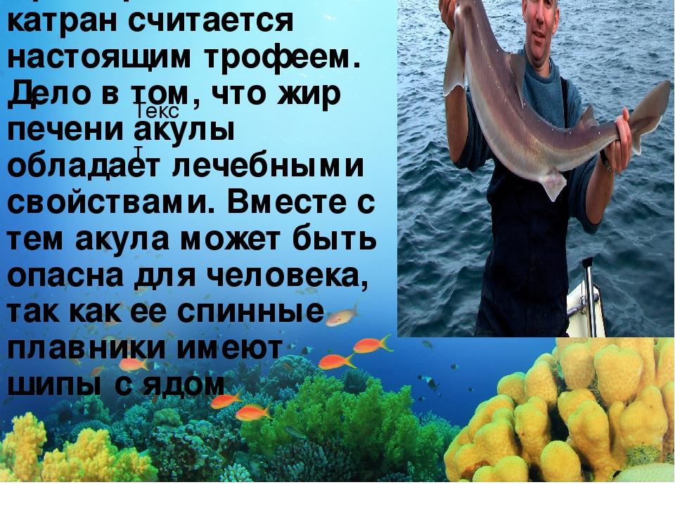 Текст Среди рыбаков катран считается настоящим трофеем. Дело в том, что жир п...