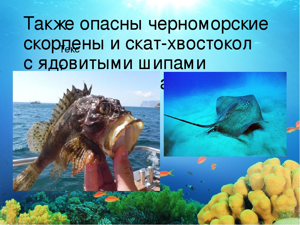 Текст Также опасны черноморские скорпены искат-хвостокол сядовитыми шипами...