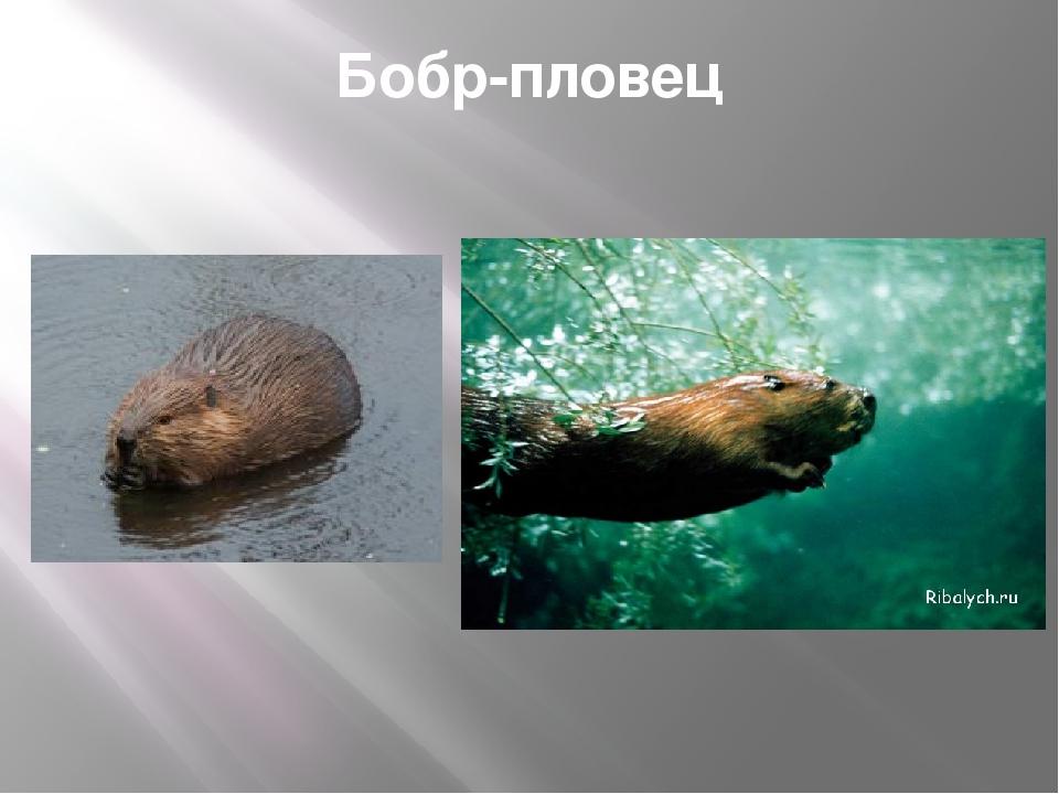 Используемые источники http://dikiymir.ru/catalog-statei/zoo/127-bobr.html ht...