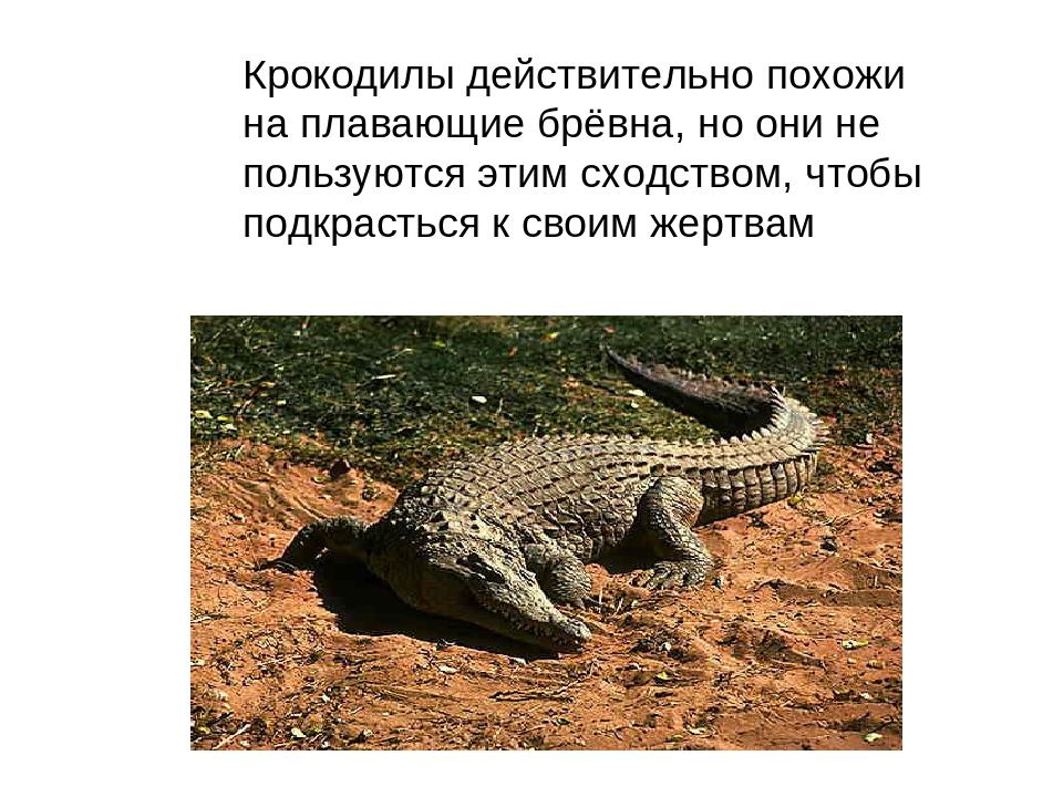 Крокодилы действительно похожи на плавающие брёвна, но они не пользуются этим...