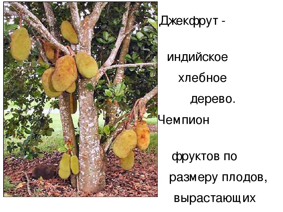 Джекфрут - индийское хлебное дерево. Чемпион фруктов по размеру плодов, вырас...