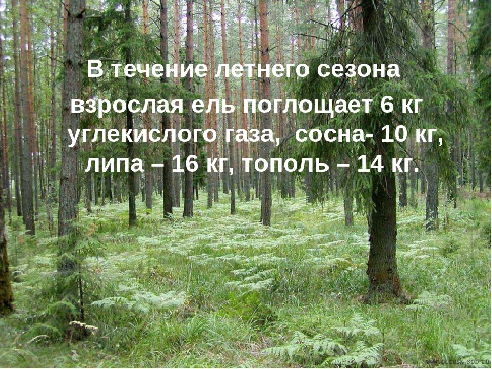 В течение летнего сезона взрослая ель поглощает 6 кг углекислого газа, сосна-...