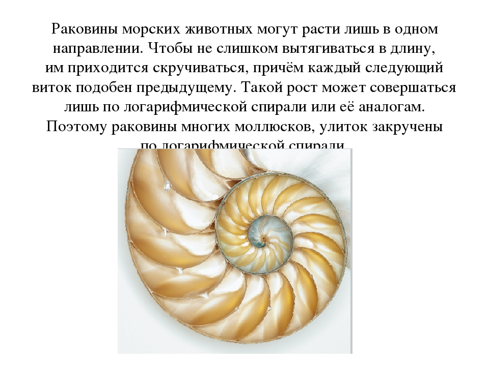 Раковины морских животных могут расти лишь водном направлении. Чтобы неслиш...