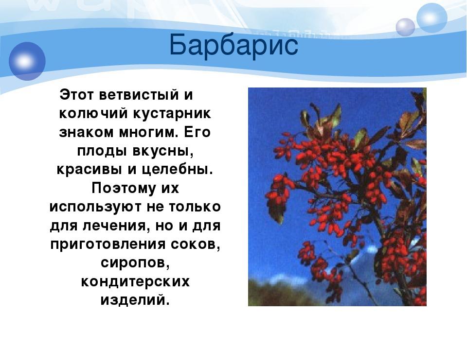 Барбарис Этот ветвистый и колючий кустарник знаком многим. Его плоды вкусны,...